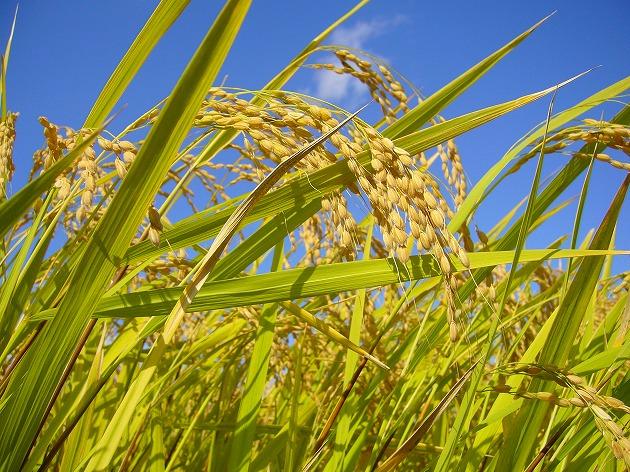 稲刈り前の稲穂