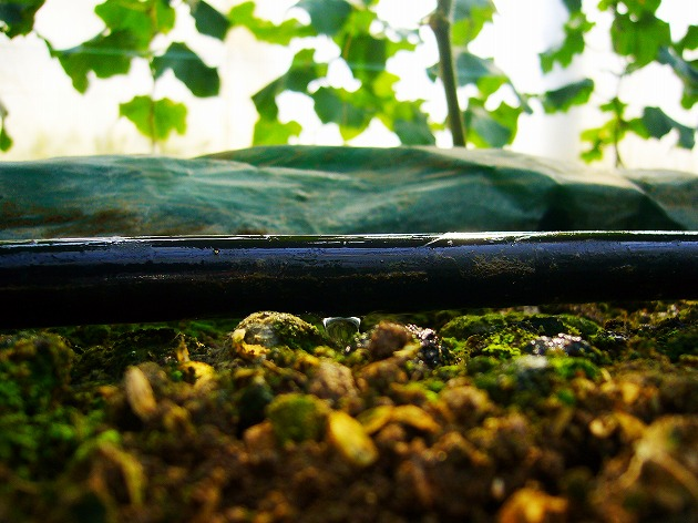 きゅうりの根元へ天然水を