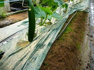 天然水をきゅうりの根元から補給