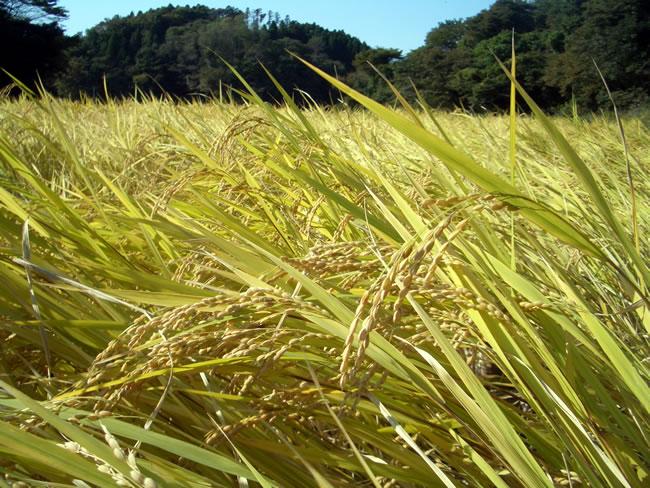 特別栽培米(環境保全米) ほたる米の栽培方法